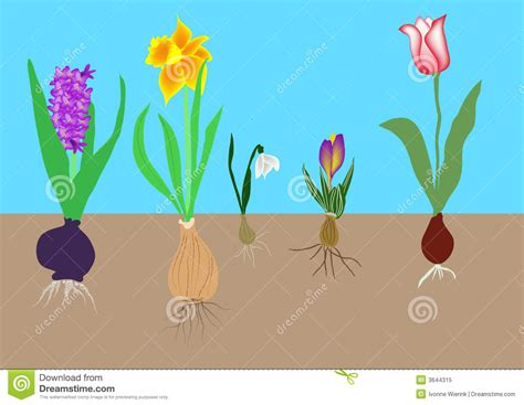 how to plant bulbs flower bulbs stock vector image of snowdrops winter 3644315