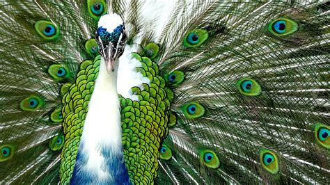 courtship display   indian peacock  pnanasonic