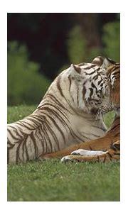White Tiger Wallpapers for Desktop - WallpaperSafari