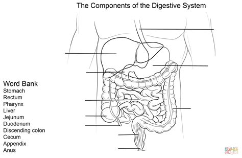 digestive system worksheet coloring page free printable