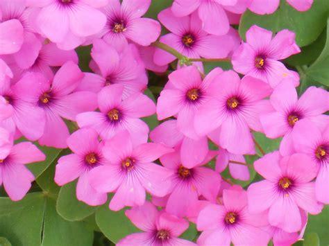 fiori di trifoglio fiori di trifoglio foto immagini macro e up