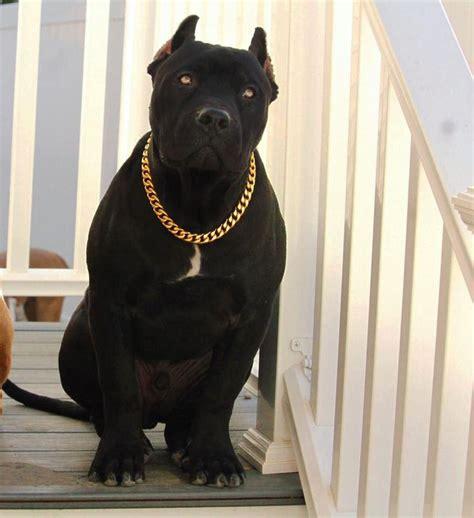gold cuban link luxury dog choke chain collar pitbull