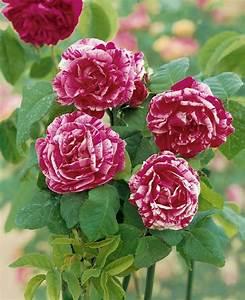 Wilde Triebe Rosen : historische park wild rosen steinfurther rosen online ~ Lizthompson.info Haus und Dekorationen
