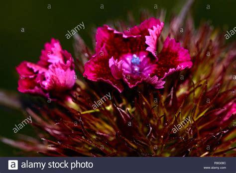 bilder mit weißem rand eine kleine rote blume mit einem wei 223 en rand l 246 st sich in einem t 252 rkischen nelke marco natur