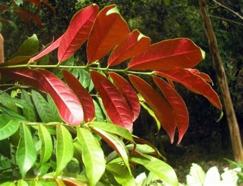 Excoecaria bicolor