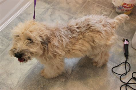 wheaten terriers do they shed soft coated wheaten terriers cedar falls wheatens