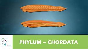 PHYLUM – CHORDATA - YouTube  Phylum