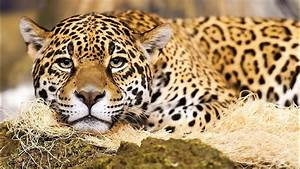 Jaguar Cat Wallpaper 1920x1080 13492