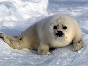 Harp Seal | Cute Animal Interesting Facts & Images | The ...