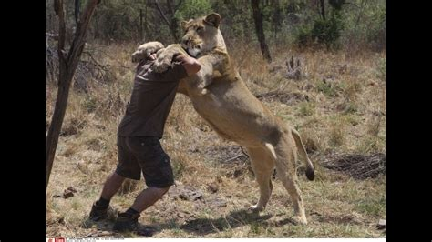 terrible  lion attaque son dresseur en egypte youtube