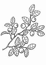 Coloring Pages Berries Fruit Tomatoes Fruits sketch template