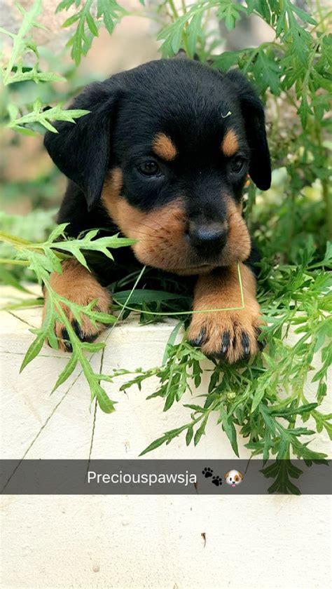 rottie puppies  sale  jamaica kingston dogs