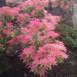 Mimosa Résistant Au Froid : planter les arbustes de terre de bruy re ~ Melissatoandfro.com Idées de Décoration