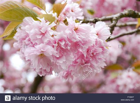 Fluffy pink cherry blossom flowers on branches on the tree
