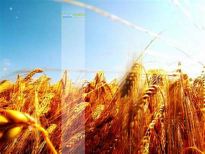 Barley Fields Wallpapers Nature