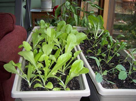 mombo s backyard indoor vegetable garden update