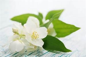 Olivenbaum Stecklinge Kaufen : jasmin winterhart jasmin kletterpflanze winterhart s ~ Michelbontemps.com Haus und Dekorationen