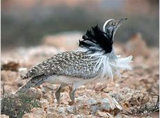The Asian Houbara Bustard Stratagem