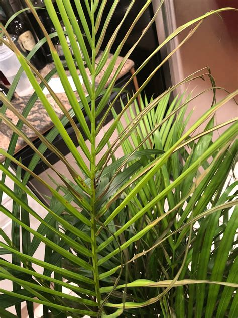 indoors  areca palm  dying gardening landscaping