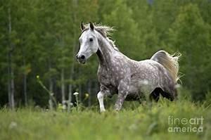 Arabian Dapple Grey Horse Galloping Photograph by Rolf Kopfle