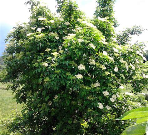 fior di sambuco sambuco propriet 224 e benefici verde azzurro notizie