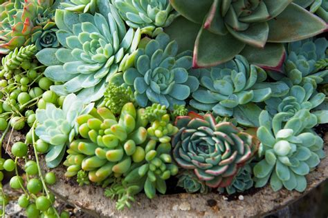 order succulents surreal succulents buy quality succulent plants online at surrealsucculents co uk