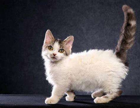 cats span life span of lambkin dwarf
