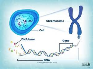 Relationship Between DNA Genes Chromosomes