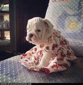English Bulldogs Puppies Dress Up