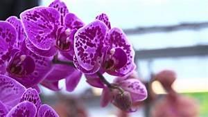 Orchideen Umtopfen Video : orchideen richtig pflegen dehner ratgeber youtube ~ Watch28wear.com Haus und Dekorationen