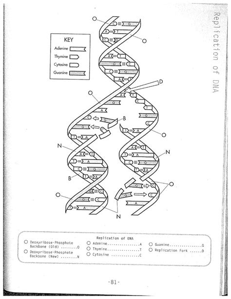 Dna Replication Coloring Worksheet On Dna Coloring Worksheet Answer   Biology Class