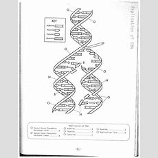 Dna Replication Coloring Worksheet On Dna Coloring Worksheet Answer   Biology Class Dna