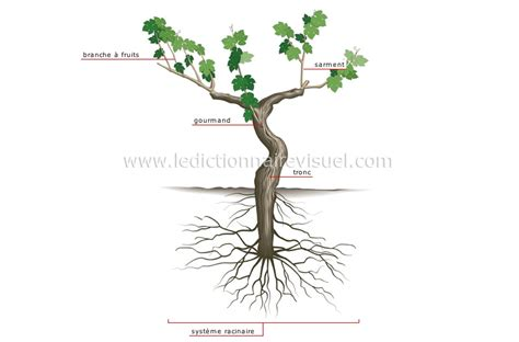 r 232 gne v 233 g 233 tal gt vigne gt cep de vigne image dictionnaire