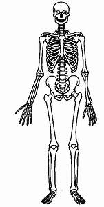 Human Body Skeletal System Unlabled