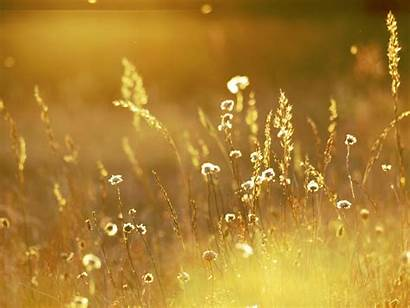 Gold Wallpapers Fields Background Golden Field Nice