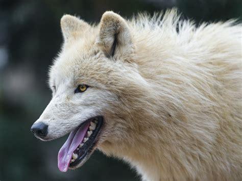 fond decran visage blanc portrait profil faune