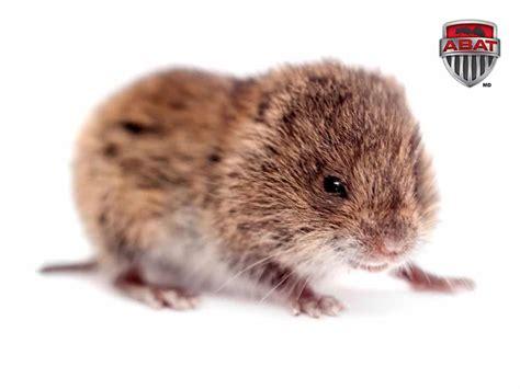 rat en anglais 201 liminer le mulot ou le cagnol avec un exterminateur