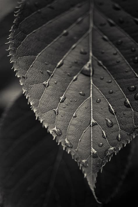 black  white leaf wallpaper gallery