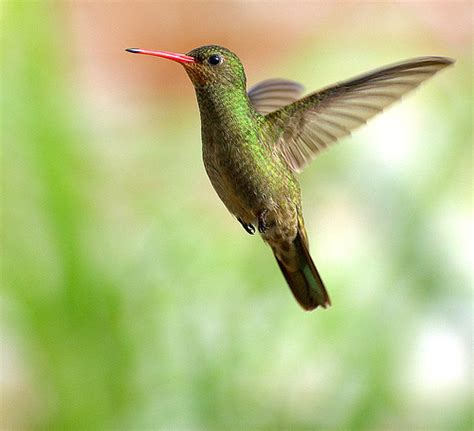 the hummingbird diet earth earthsky
