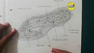 Opal U0026 39 S Diagram-paramecium