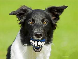 Dog With Human Teeth | www.pixshark.com - Images Galleries ...