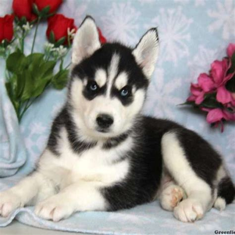 Siberian Husky Puppies For Sale  Greenfield Puppies