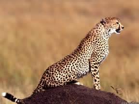 cheetah cats cheetah a big cat animals wiki pictures