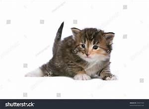 Norwegian Forest Cat Kitten On White Stock Photo 26427544 ...