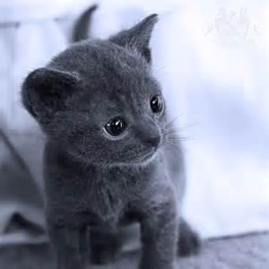 russian blue cat personality 17 best ideas about korat cat on russian blue