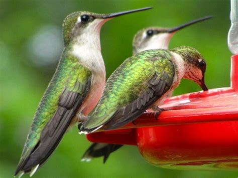 hummingbird migration news fall 2013