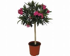 Oleander Winterhart Kaufen : oleander nerum orleander st mmchen 60 80cm 20er topf rosa kaufen bei ~ Eleganceandgraceweddings.com Haus und Dekorationen