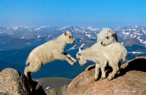 mountain goat kids jumping  rocky mountain background