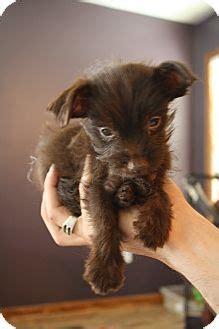 lebanon tn poodle miniaturechihuahua mix meet corky