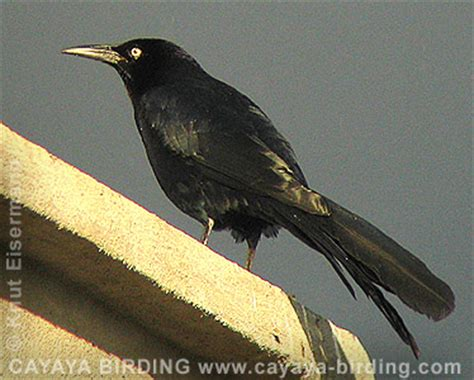 quimex 9969b black orioles of guatemala by cayaya birding